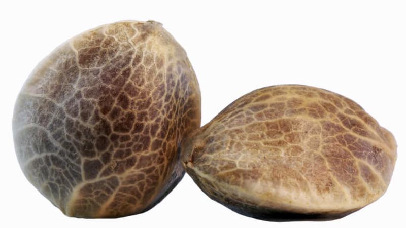 nasiona-CBG