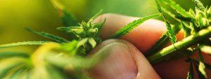 konopie czy marihuana